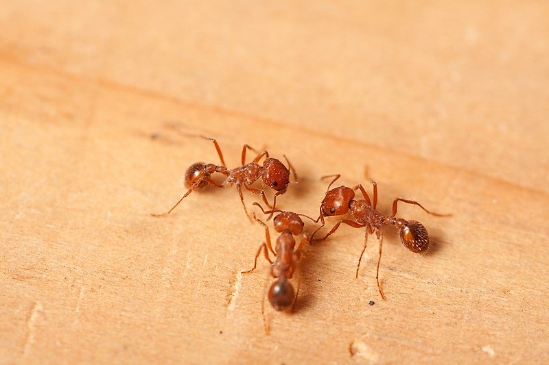Fire Ant