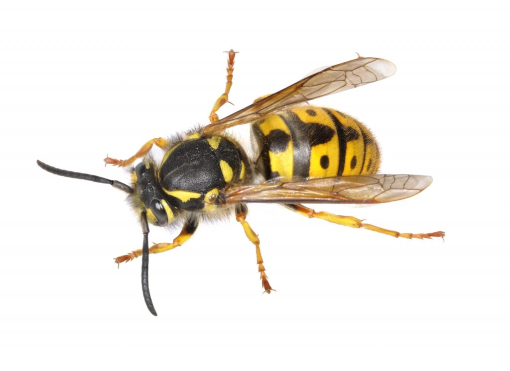 European Wasp Stings & First Aid