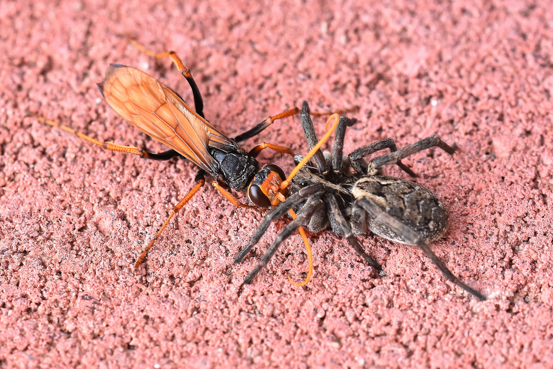 Spider Wasp (Mud-dauber Sp.)