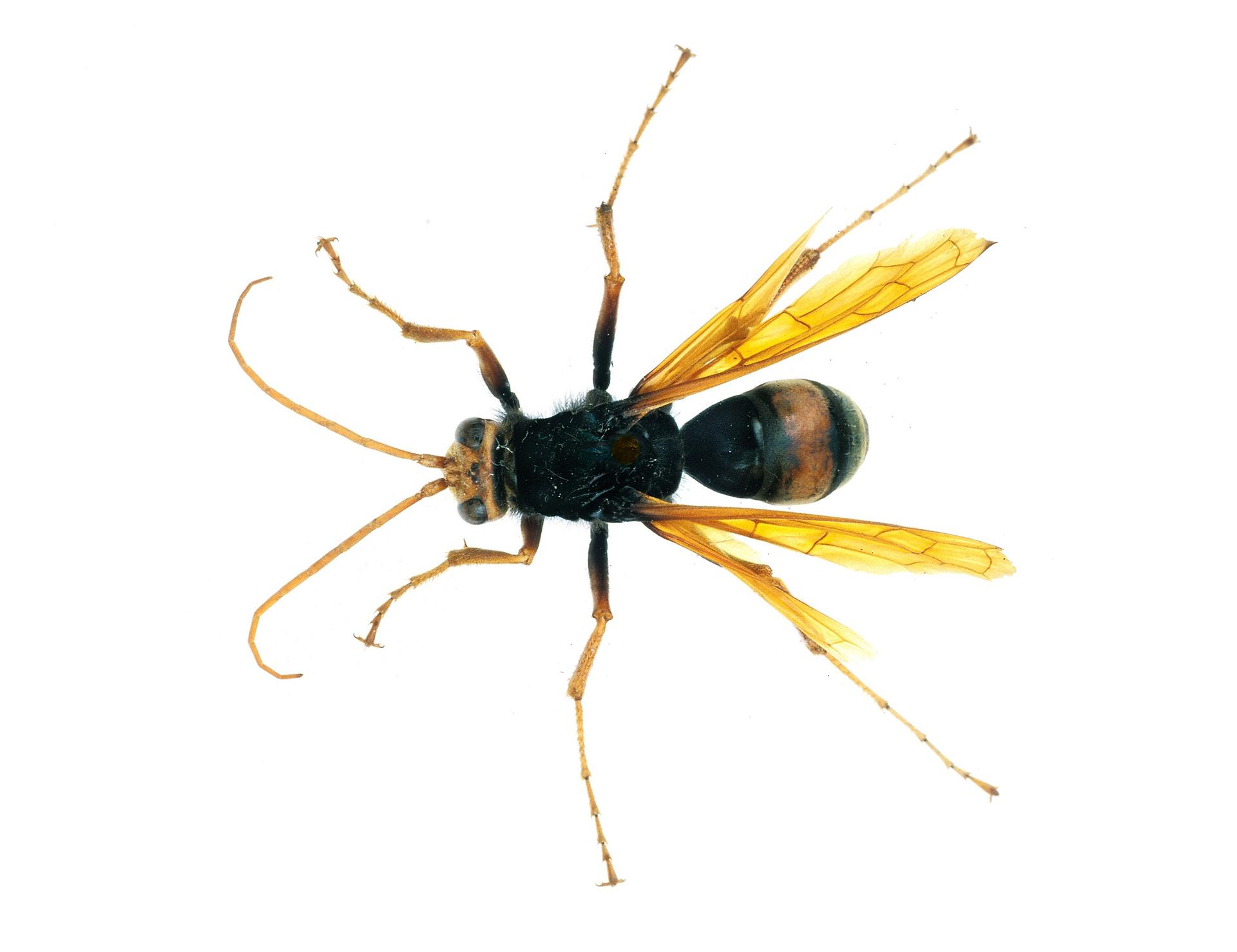 Spider Wasp (Mud-dauber Sp.)
