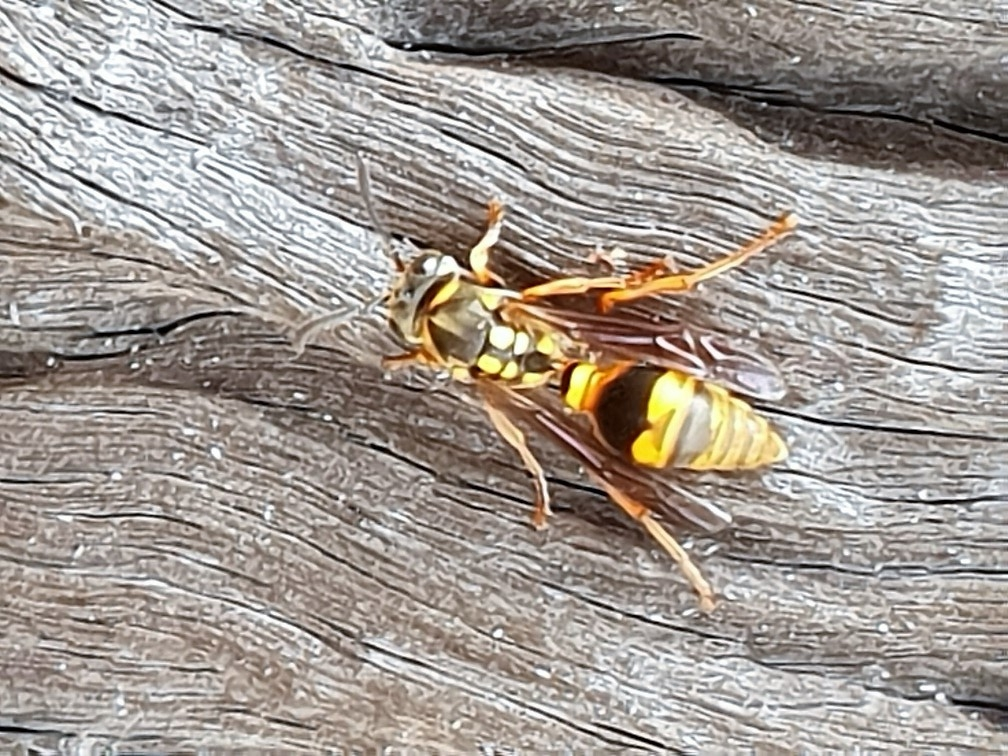 Yellow Brown Paper Wasp (Ropalidia romandi)