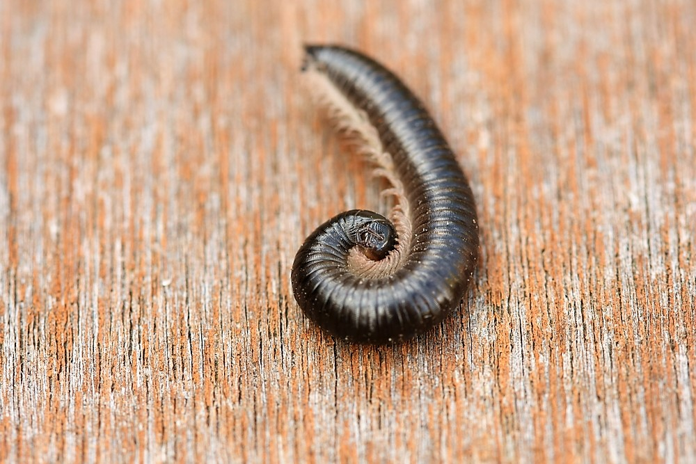 Black Portuguese Millipede